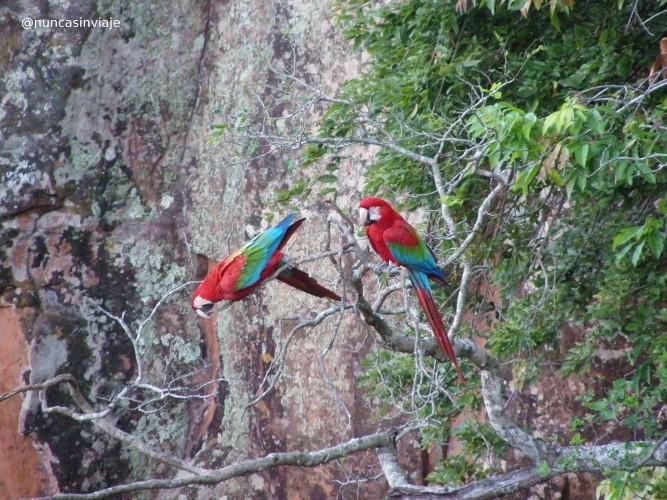 Una pareja de guacamayos rojos