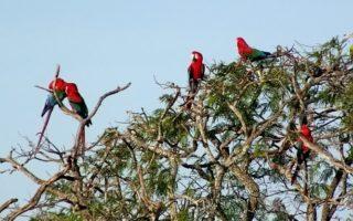 Guacamayos rojos posados sobre un árbol en el Buraco das Araras