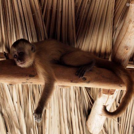Macaco prego Mono capuchino