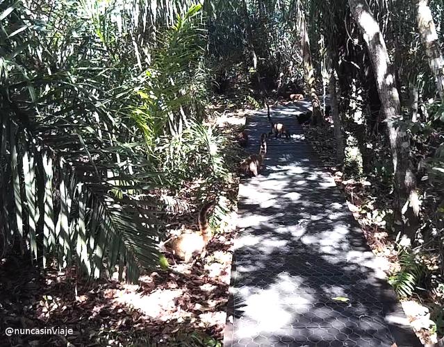 Una manada de coatíes en un sendero