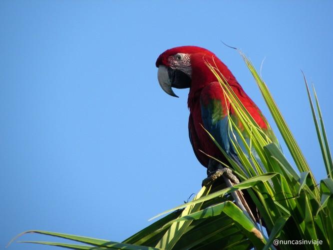 Arara vermelha en Bonito Brasil