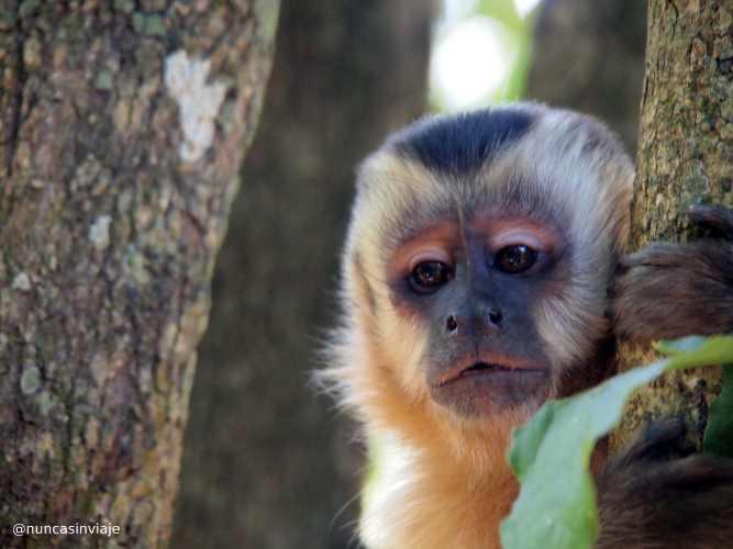Animales de Brasil: un mono capuchino nos mira sujeto a un árbol