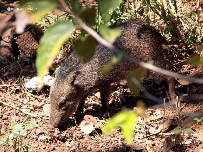 Porco do mato en Bonito Brasil