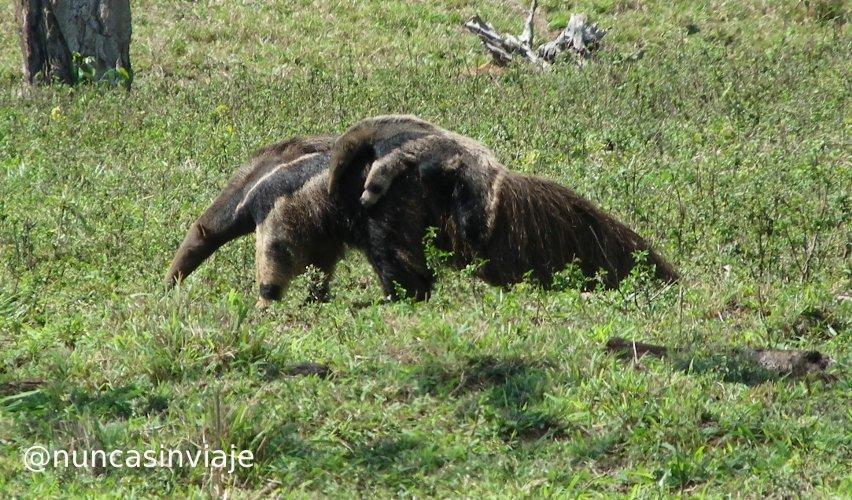 Hembra de oso hormiguero gigante con una cría sobre el lomo