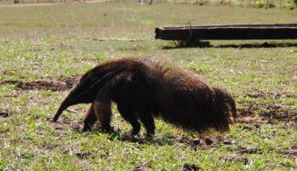 oso hormiguero en Bonito Brasil