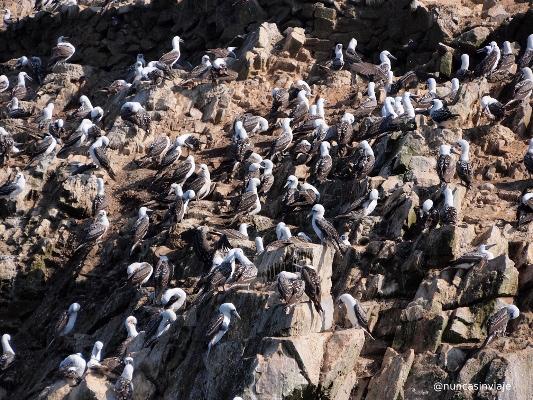 Aves guaneras en islas Ballestas