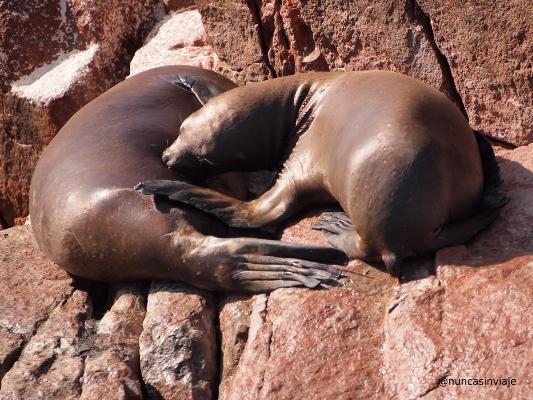 Lobos marinos en las islas Ballestas