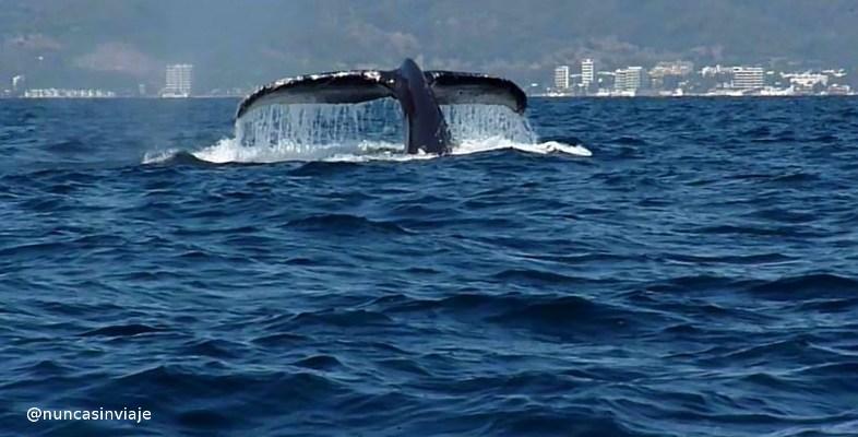 ballena-jorobada-puerto-vallarta