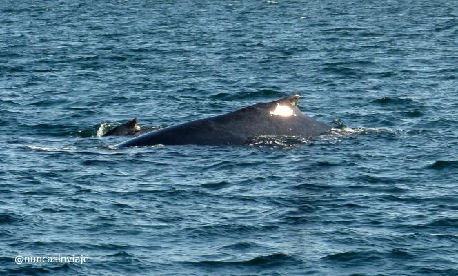 ballena yubarta 4