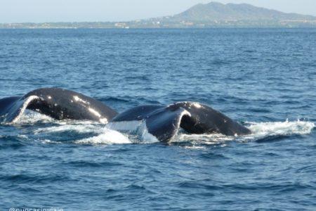 Ballenas jorobadas 1