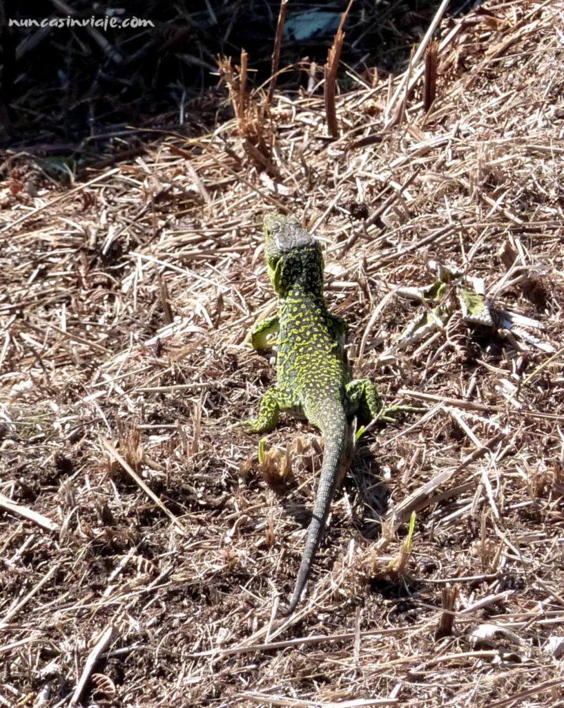 Un lagarto, fauna de las islas