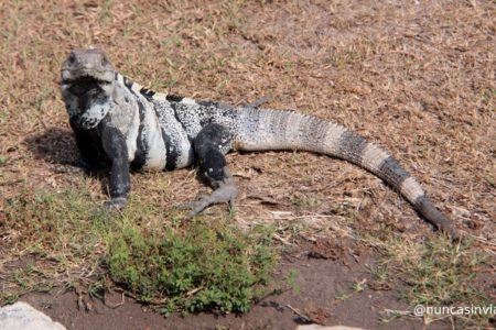 Iguana en Riviera Maya