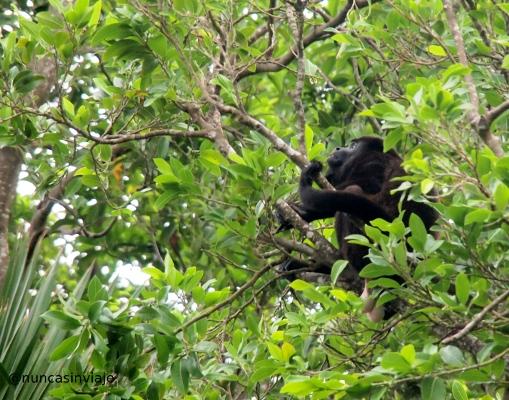 Mono aullador en México