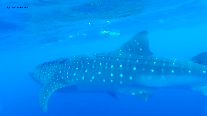 tiburón ballena en Isla Mujeres