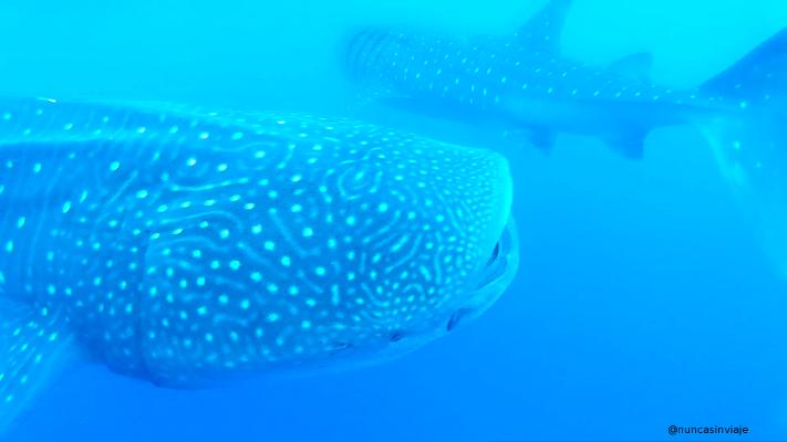 tiburón ballena en Isla Contoy