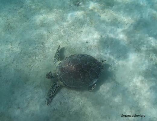 Nadar con tortugas en Akumal: tortuga en el fondo de arena