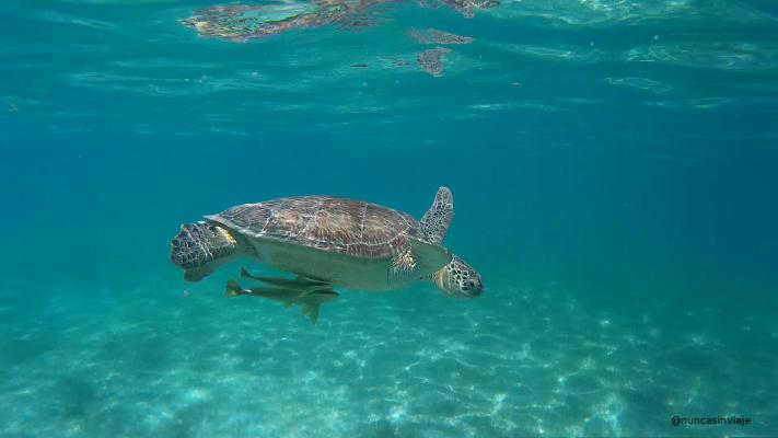 Una tortuga verde y un par de peces