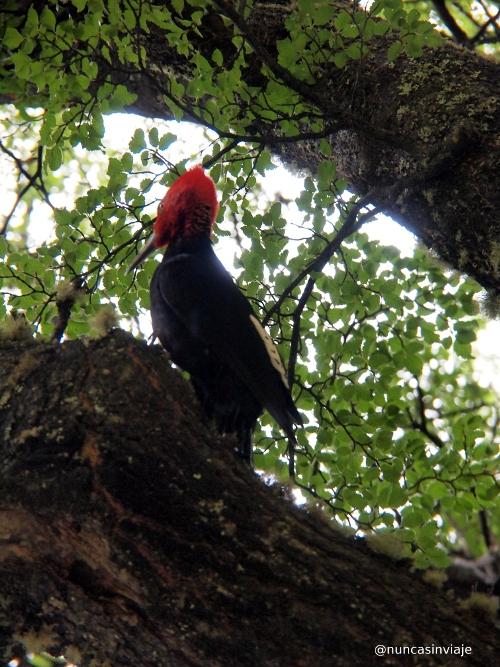 pájaro carpintero macho