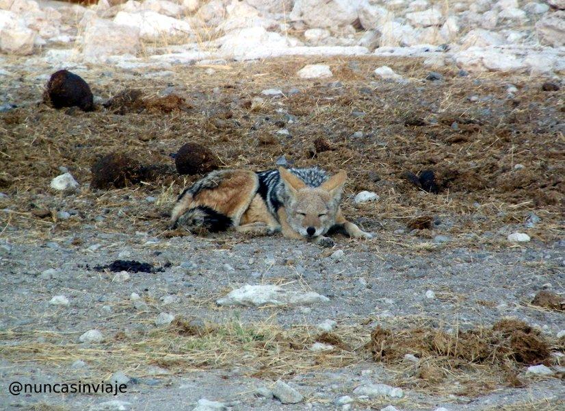 un chacal dormitando en Etosha, Namibia, África