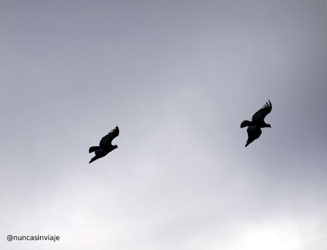 Cóndores sobrevolando El Chaltén