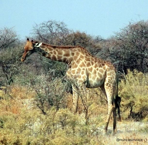 jirafa en Etosha
