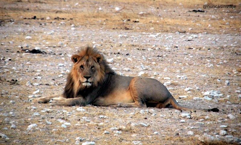 Un león macho en el Parque Nacional Etosha, en Namibia