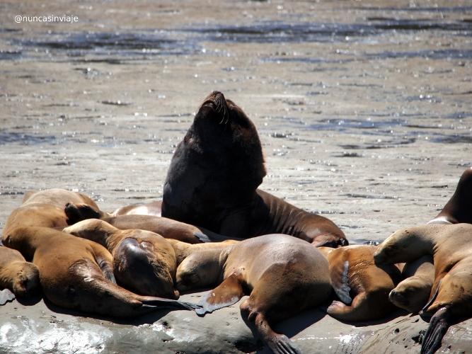 Lobos marinos en Puerto Pirámides