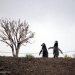 pareja de pingüinos de magallanes