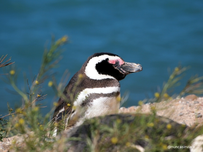 Pingüino en Caleta Valdés