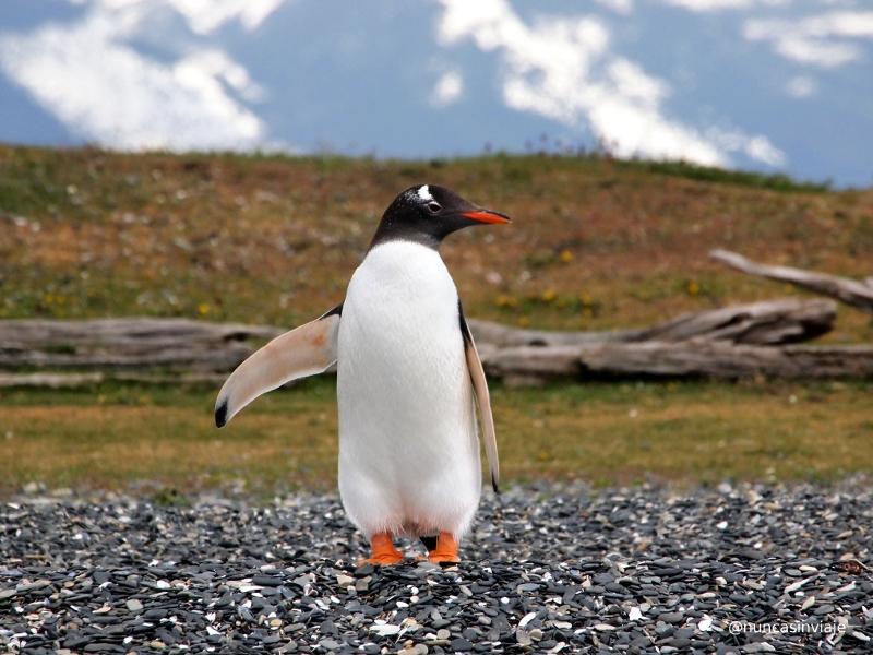 pingüino papúa o gentú