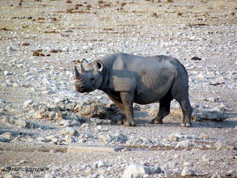 Rinoceronte negro en Etosha