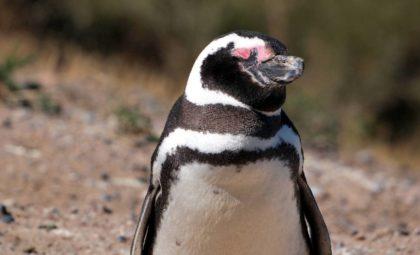 Pingüino en Península Valdés