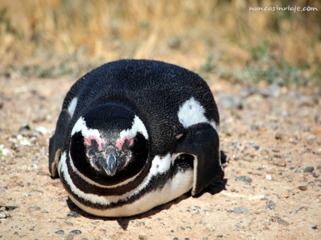 Un pingüino cerca de Puerto Madryn