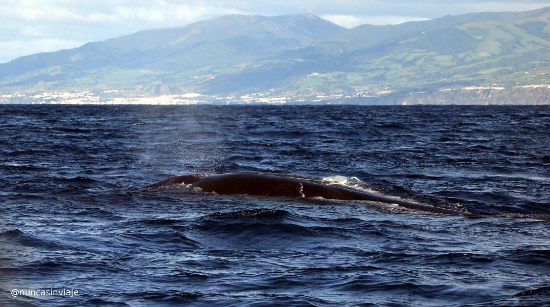 Ballena común en Azores
