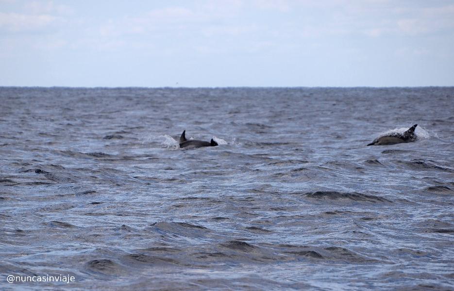 Delfines comunes en San Miguel