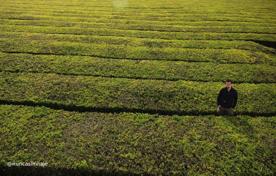 Plantaciones de té en las Azores
