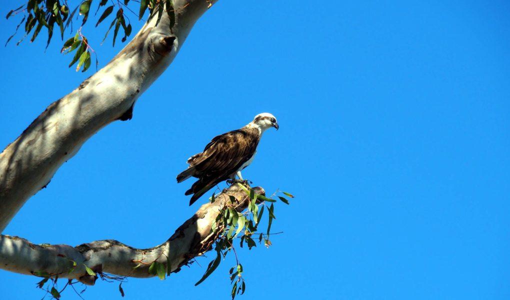 Un águila en un eucalipto