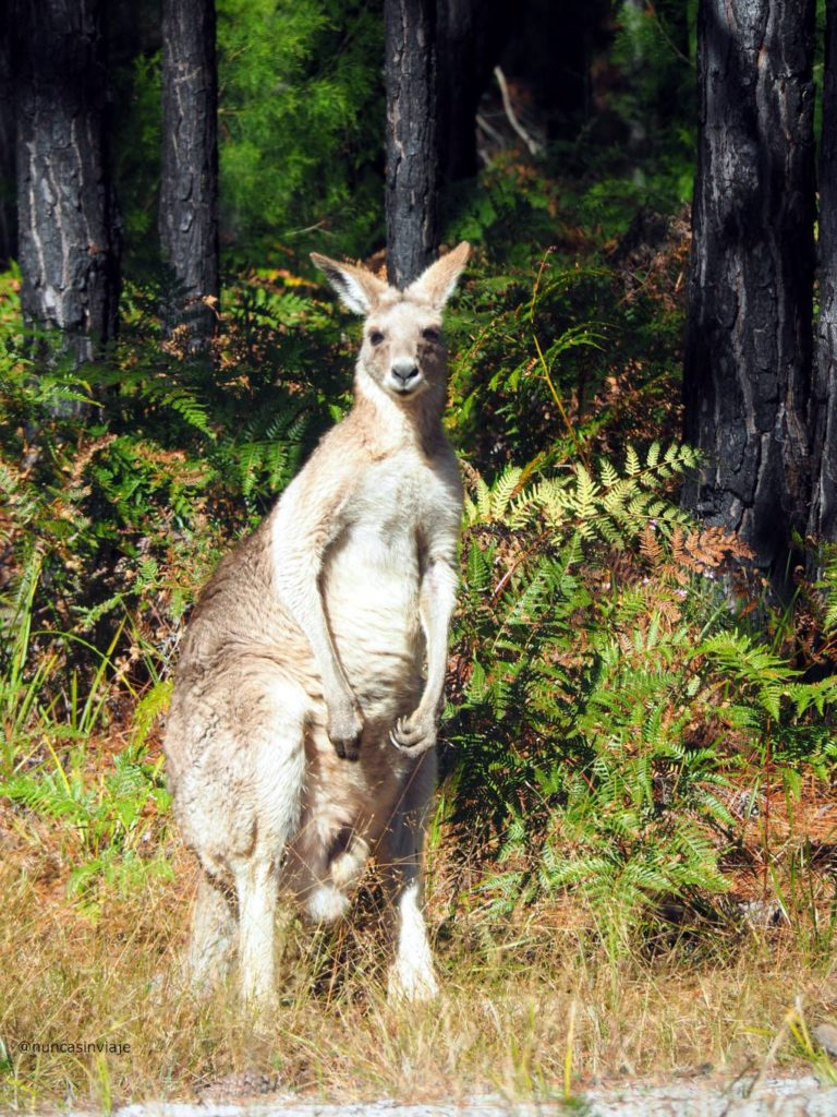 Un canguro mira hacia los turistas