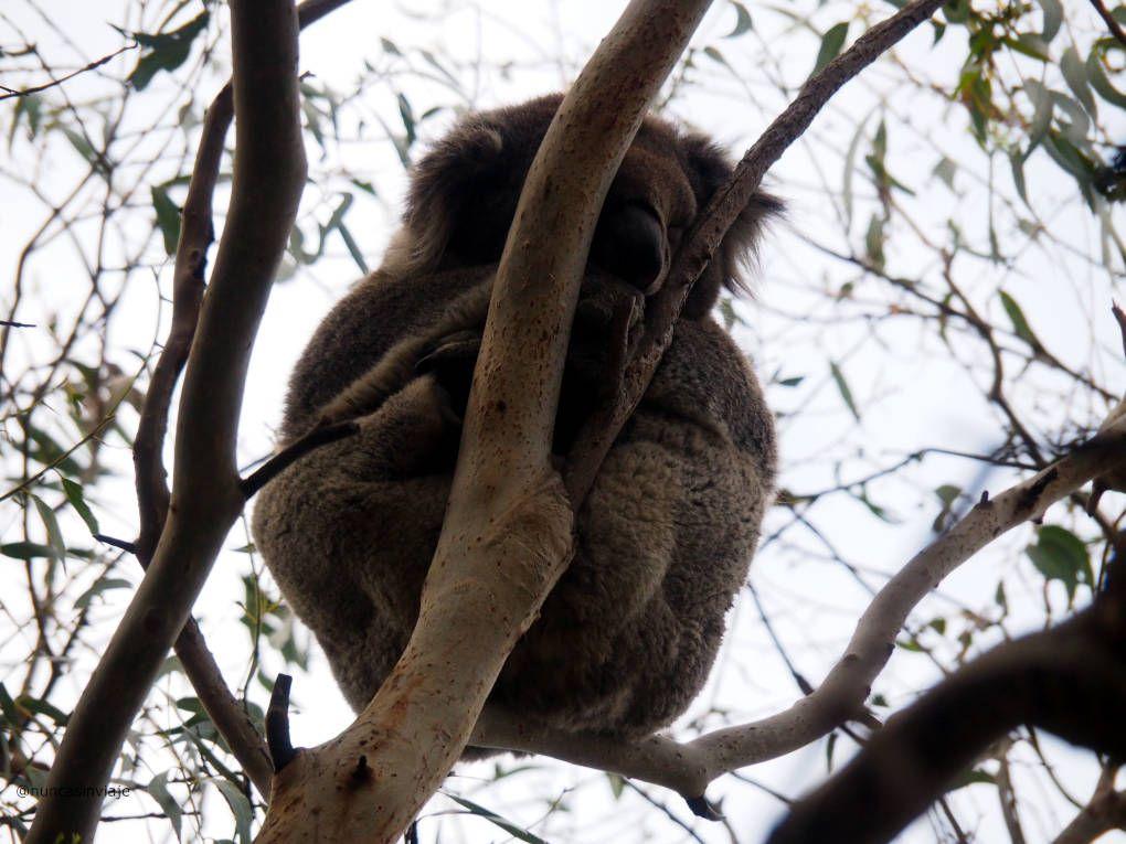 Koala en un árbol