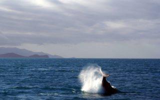 Una ballena da un aletazo en el agua