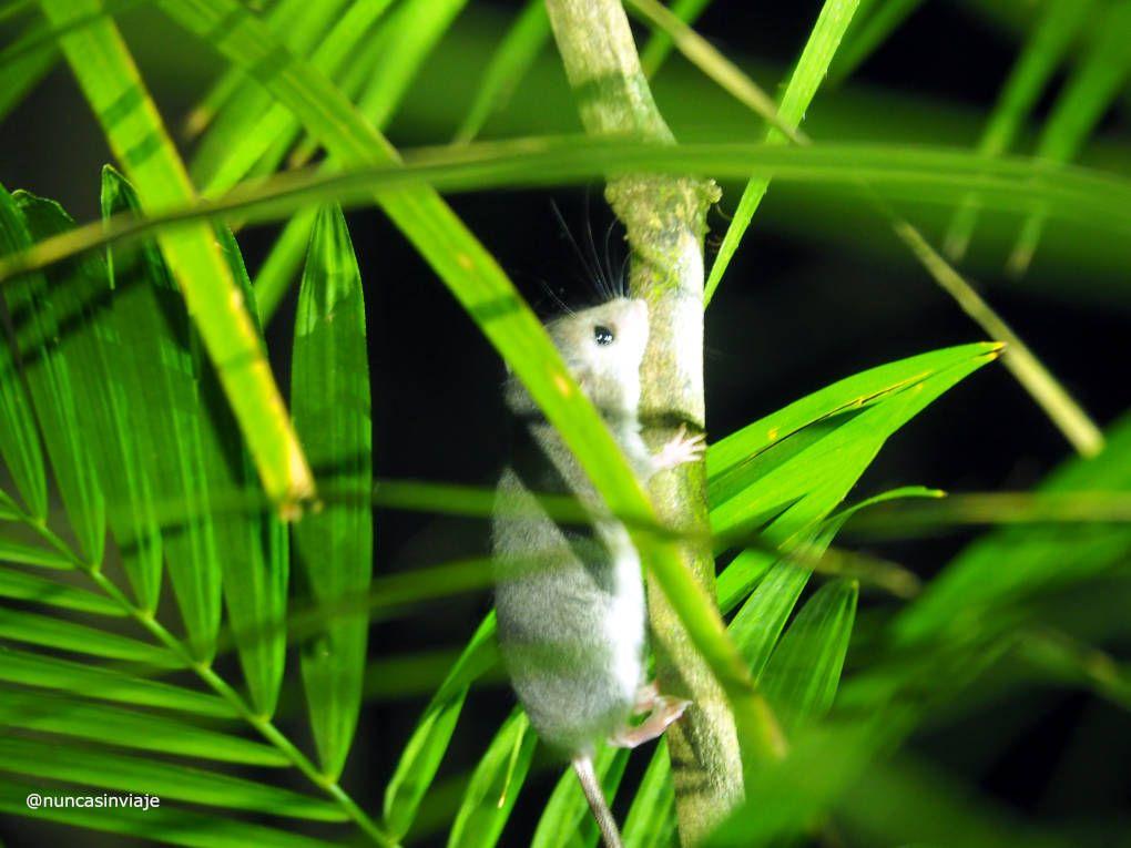 ratón marsupial