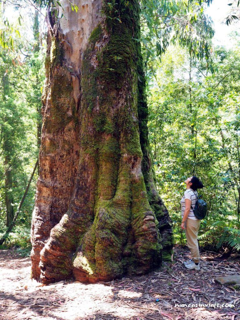 Eucalipto centenario en el Bosque Encantado de Aldán