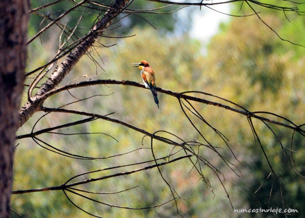 Un abejaruco en Doñana