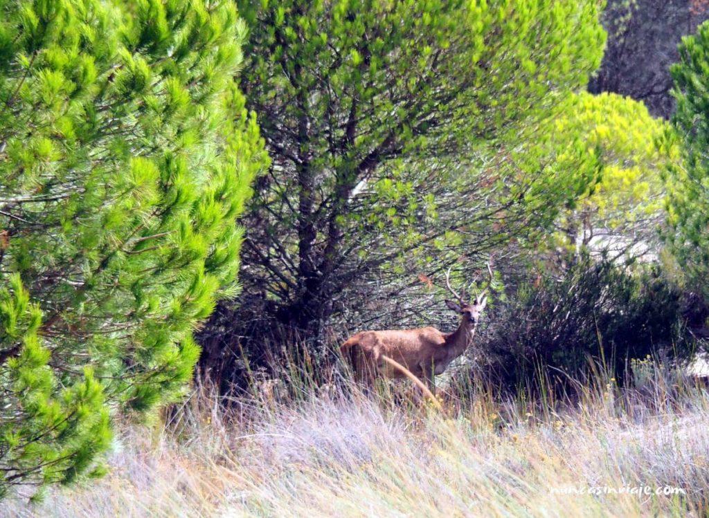 Ciervo en los cotos de Doñana
