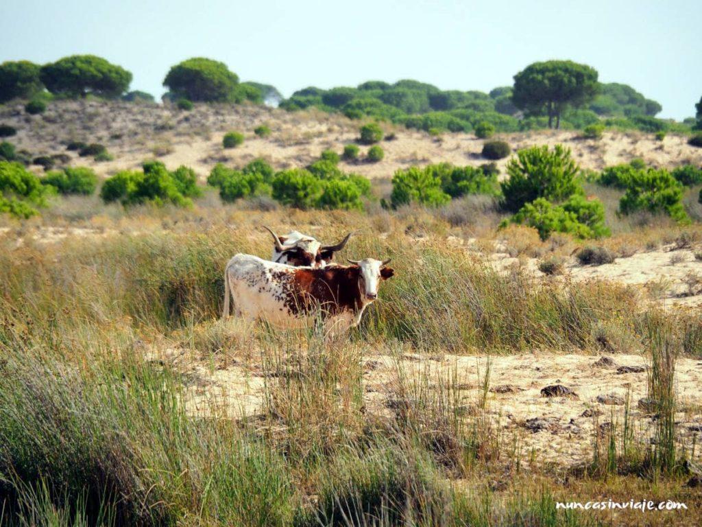 Vacas en Doñana