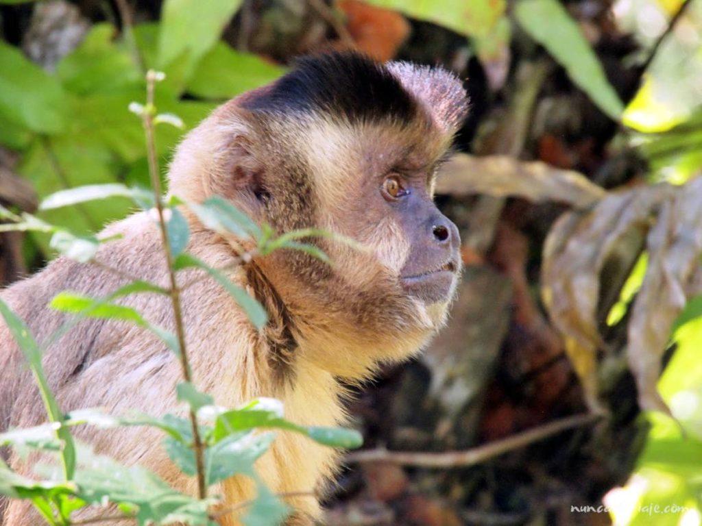 Un mono capuchino en uno de los lugares que ver en Bonito