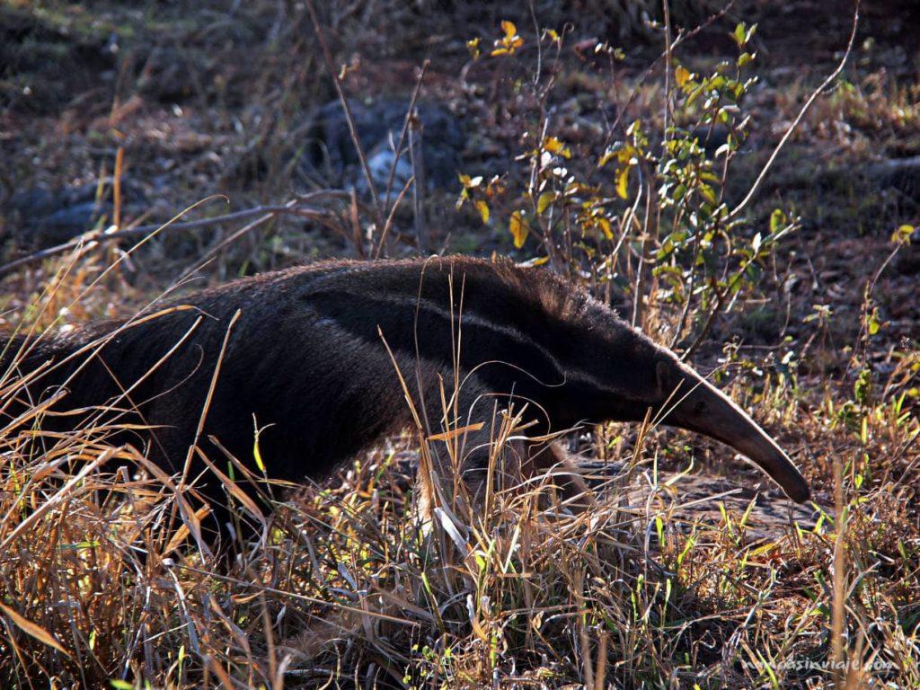 Oso hormiguero gigante en Bonito Brasil