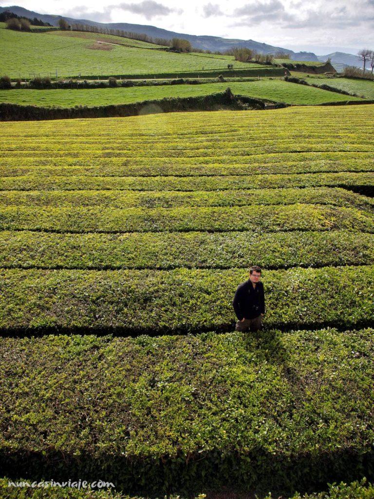 Plantaciones de té de Sao Miguel