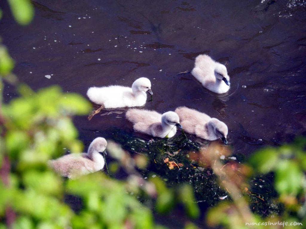 Cisnes en Redondela