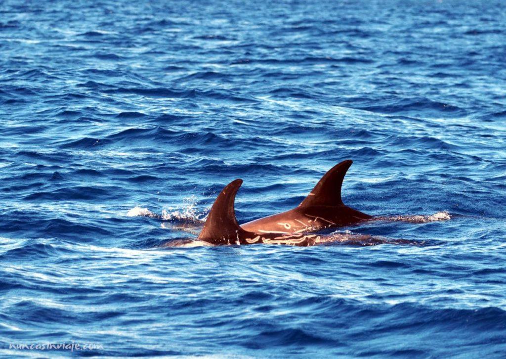 Excursión para ver cetáceos en Terceira
